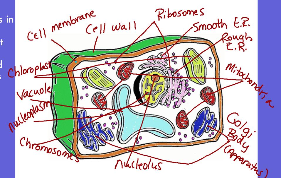 Biologycorner Com Plant Cell Coloring Answers Biologycorner.com ...